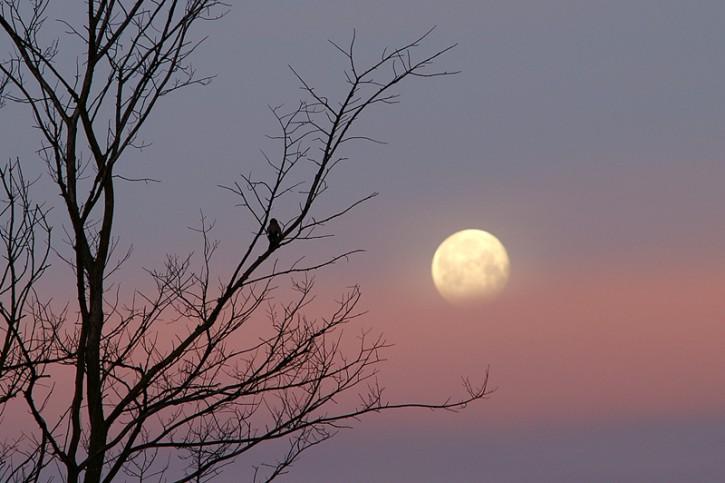 Sójka obserwująca zachód Księżyca.