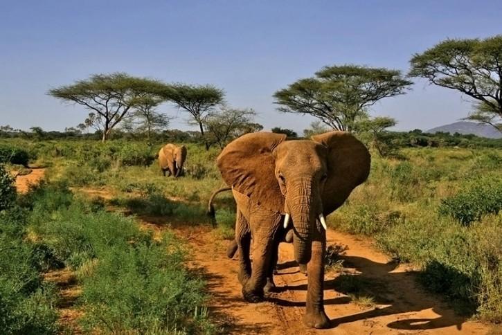 ...szarża...(Samburu National Park/West Kenya)