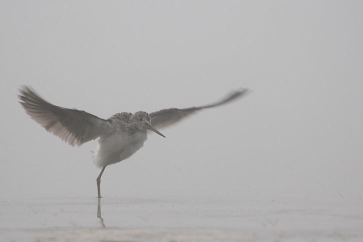 Kwokacz we mgle