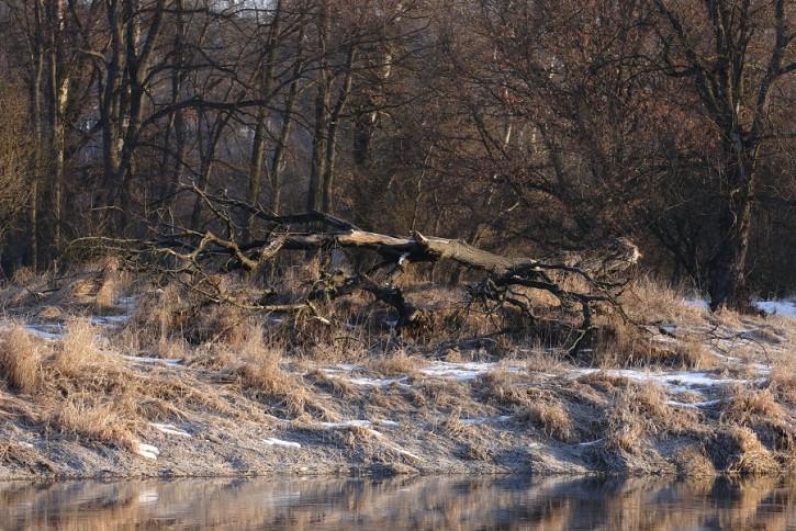 Nad Warciański drzewiec