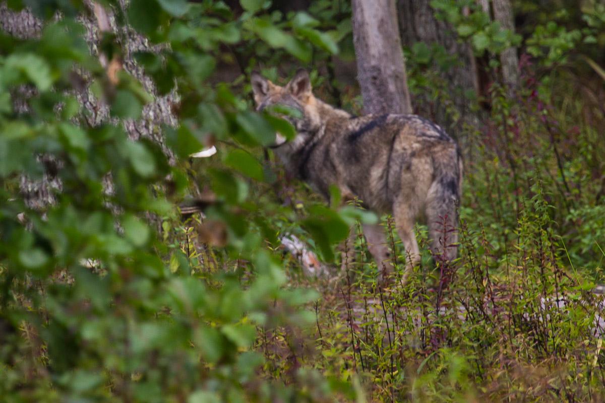 Na tropie wilków