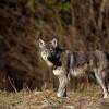 Wilk - Canis lupus